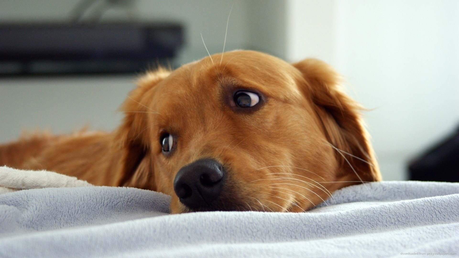 For what was the Golden Retriever bred?