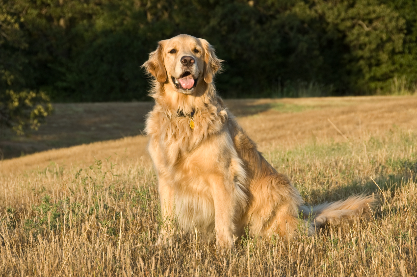 The following is NOT a disqualification in the Golden Breed Standard: