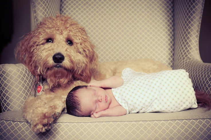 goldendoodle protect you kid