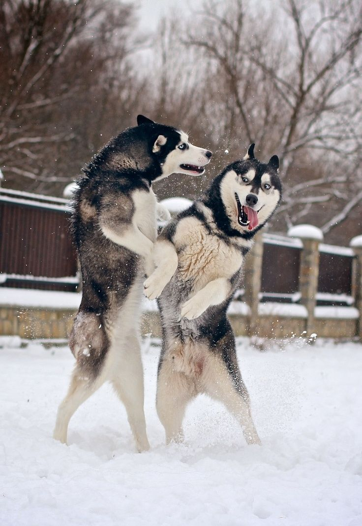 Siberian huskies were originally bred to...