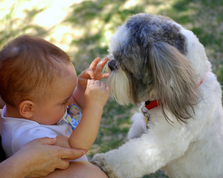 Related Pictures funny shih tzu 450x330 jpg