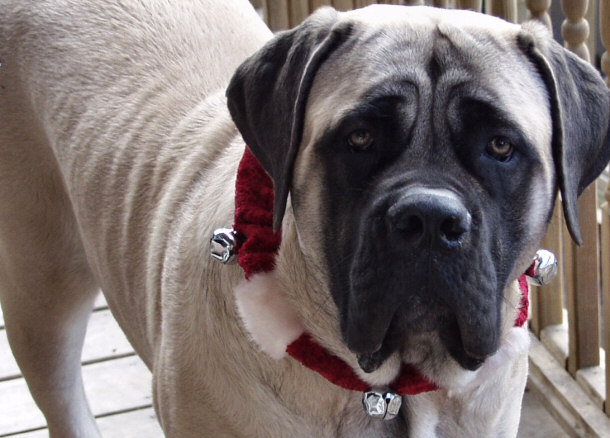 What is an English Mastiff's body shape like?