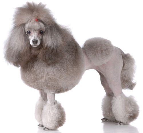 What country do Standard poodles originate from?