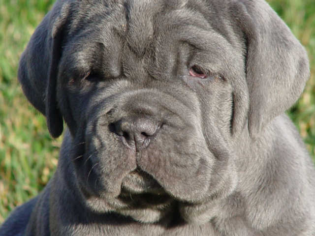Mastiffs were originally used as lion hunters as well as war dogs during Hannibal's time.
