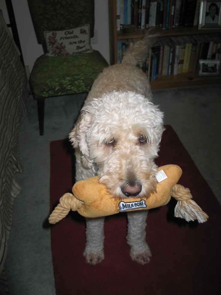 playful dog goldendoodle