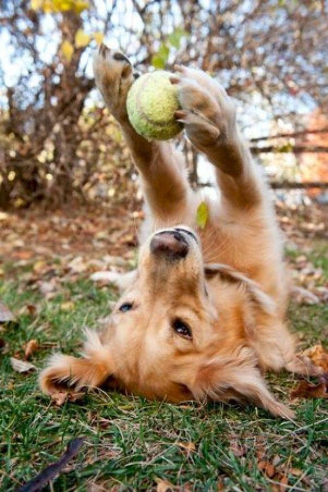 What is the average weight of Goldens, according to the breed standard?