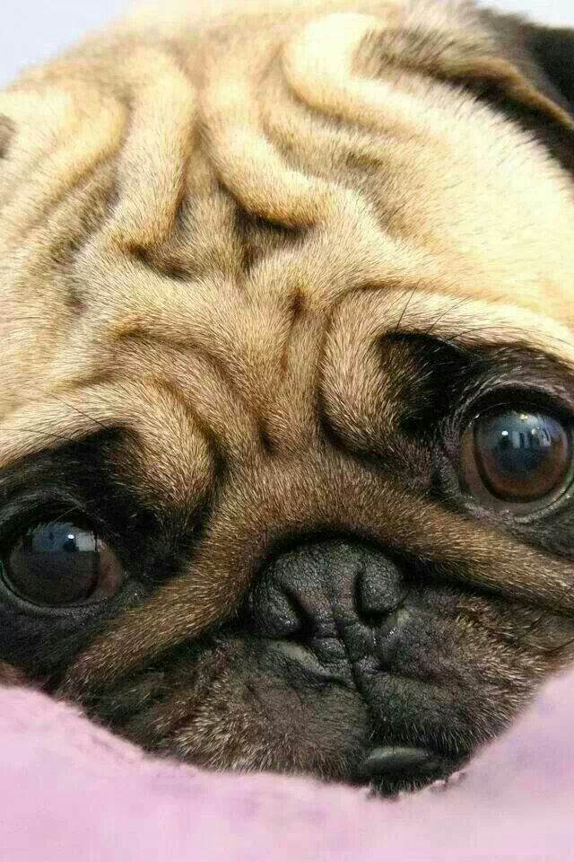 The wrinkles on a Pug's forehead were thought by the Chinese to resemble the character for which word?