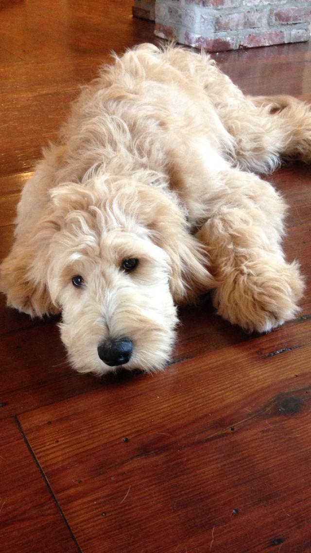 resting goldendoodle photo