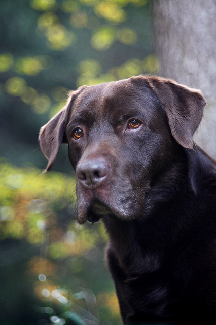 At what age does a male Labrador retriever typically mature?