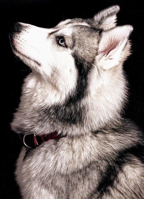 Which people were the original breeders of the Siberian Husky?