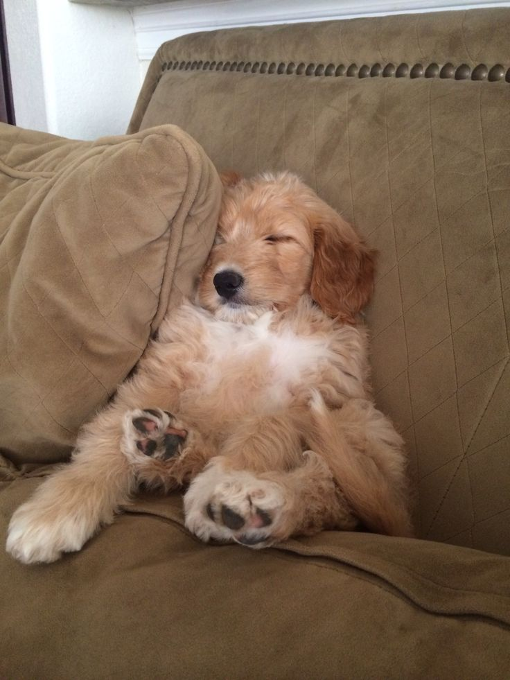 sleep goldendoodle