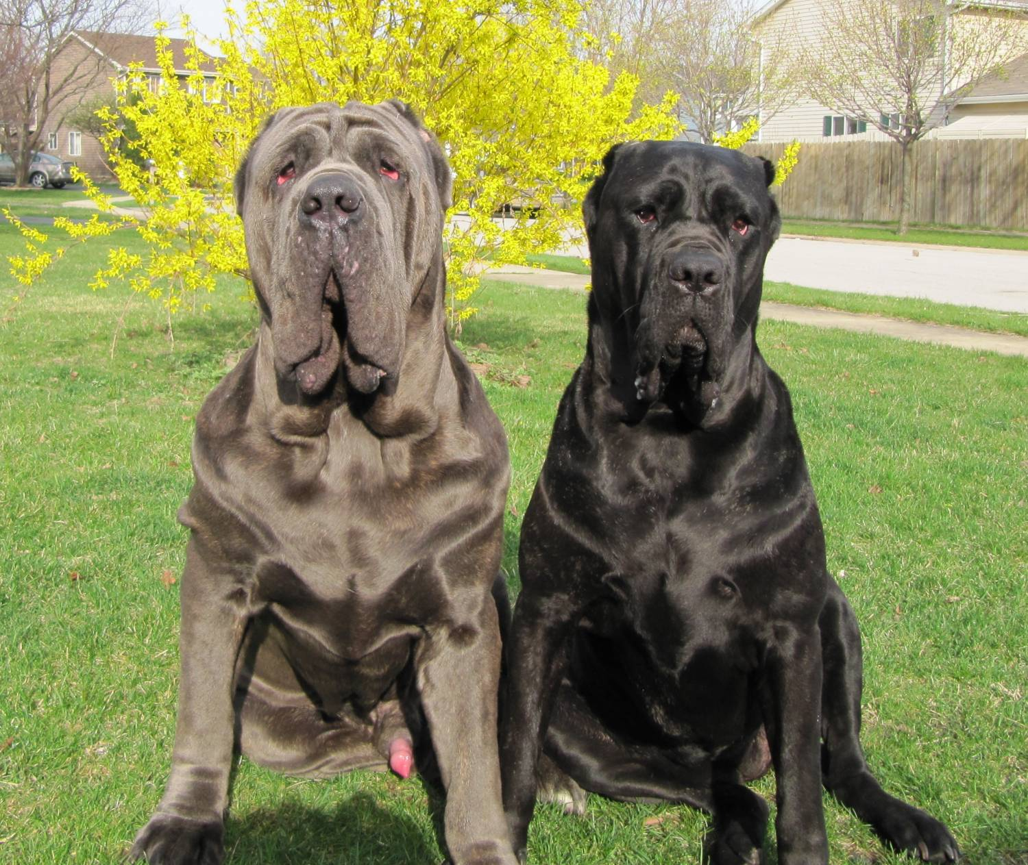 Mastiffs need much grooming.