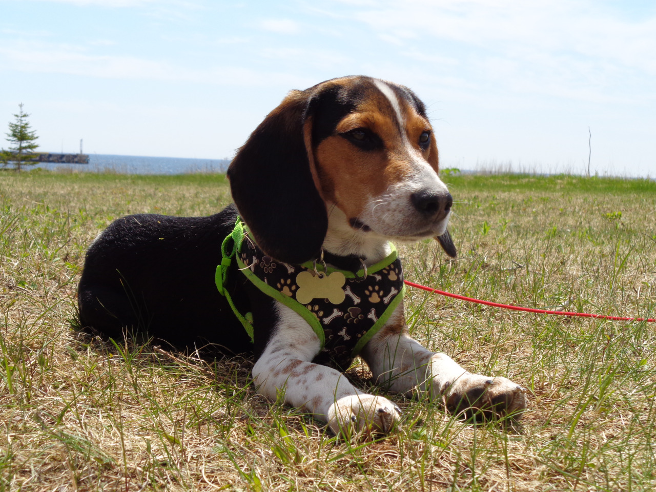 Who is considered the most famous beagle of all time?