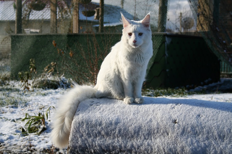 Maine Coon Cat white winter