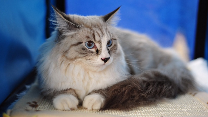 Maine Coon awesome