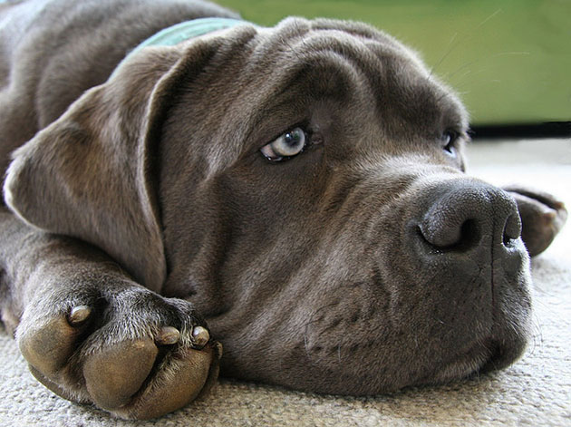Which of the following colors can a Mastiff NOT be?