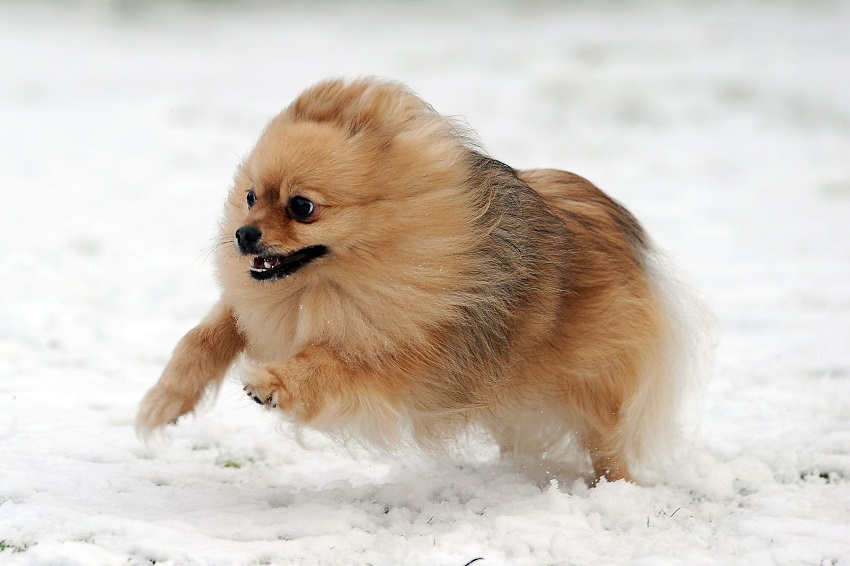 10 Best Pomeranian Dog Names