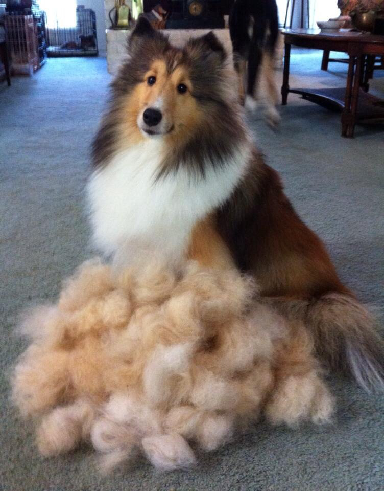 10 Reasons Why You Should Never Own Shetland Sheepdogs