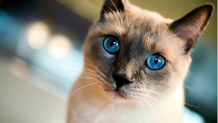 Best Cat Food For Siamese Cats