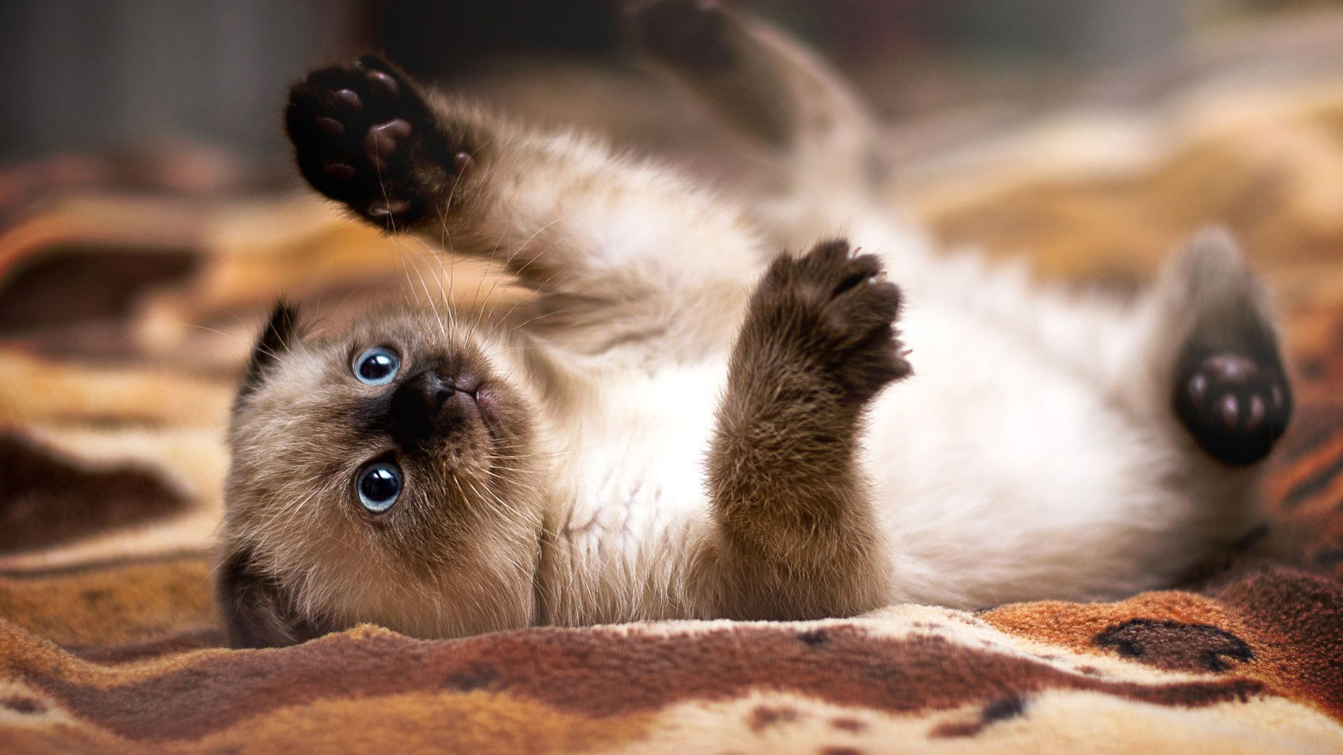 Siamese Cat playing