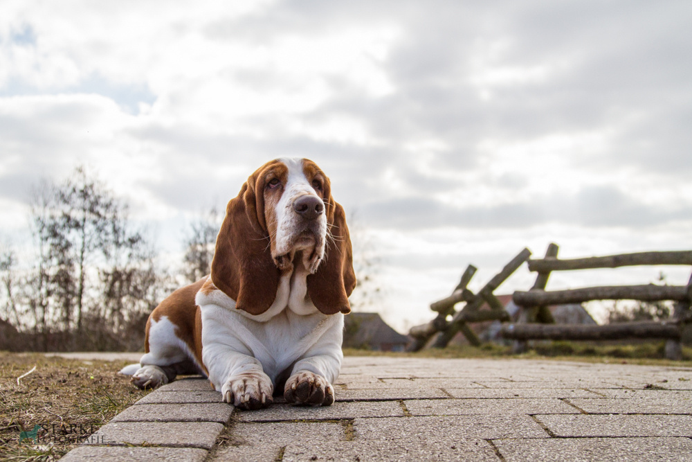 What is the date of origin of the basset hound?