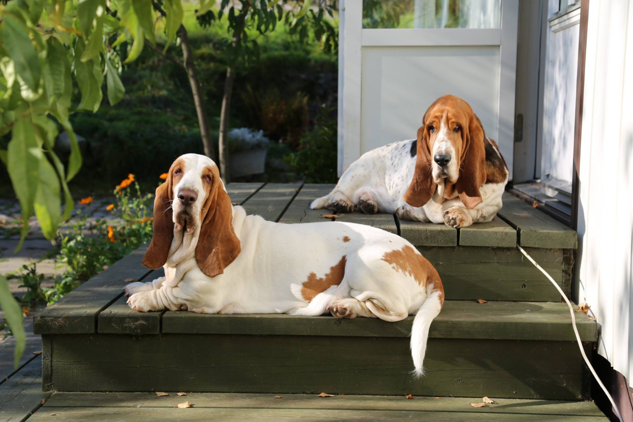 Basset Hounds shed little to no hair.