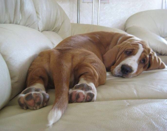 The 10 Most Awkward Basset Hound Sleeping Positions