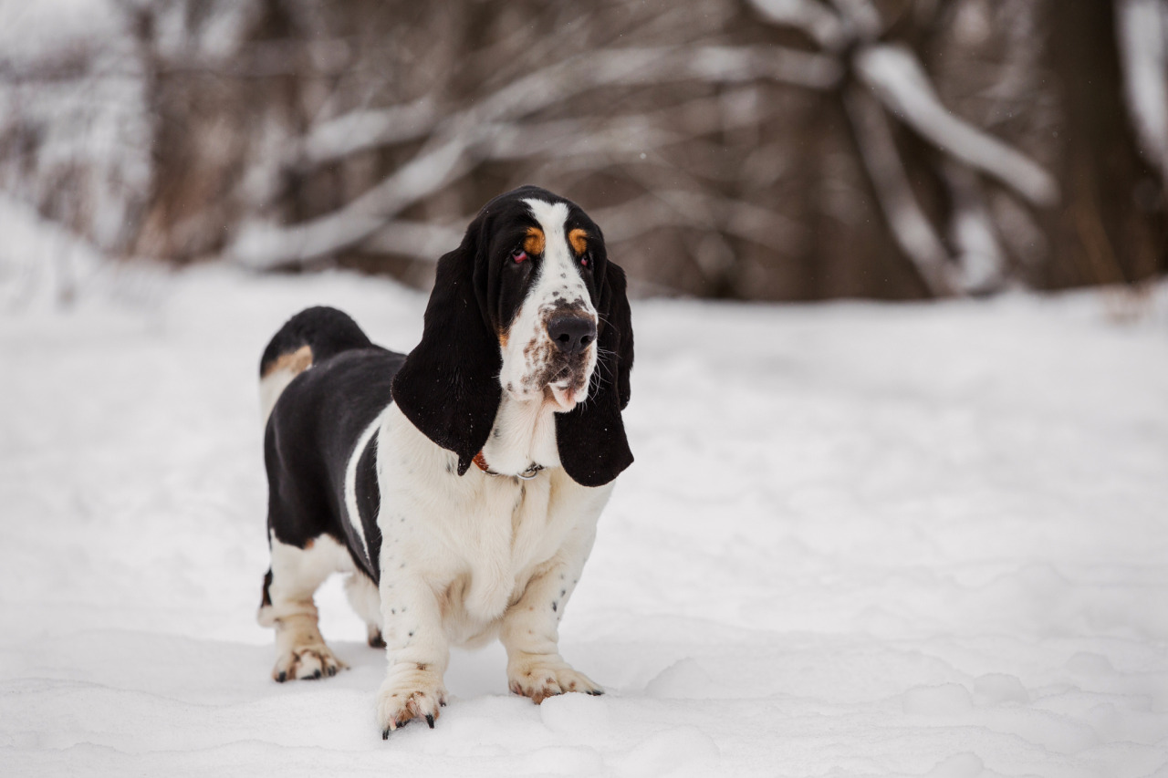 Where was the basset hound developed?
