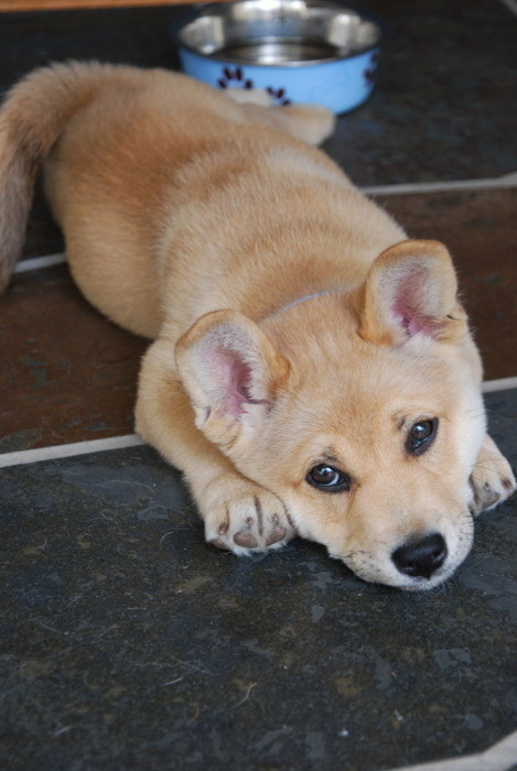 Which Mix Of Corgi Is this?
