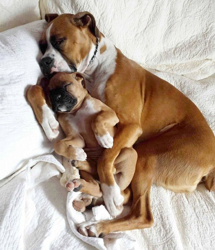 12 Reasons Boxers Are The Worst Breed Ever