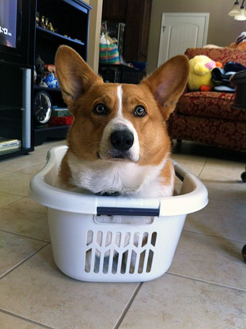 Where do Corgis originate?