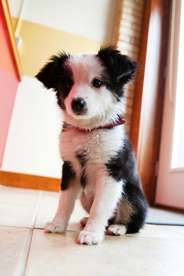 Do you own a Border Collie and live in the Kent area?