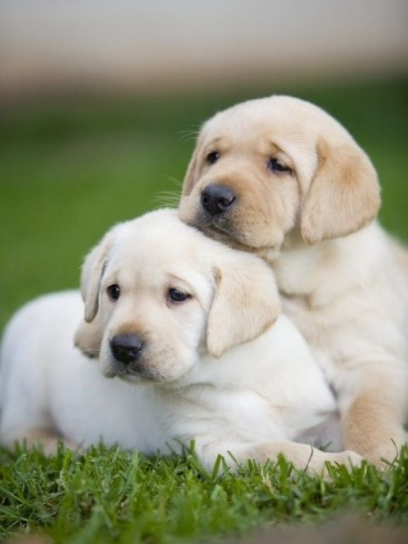13 Reasons Why Labradors Are The Most Dangerous Pets. The ...