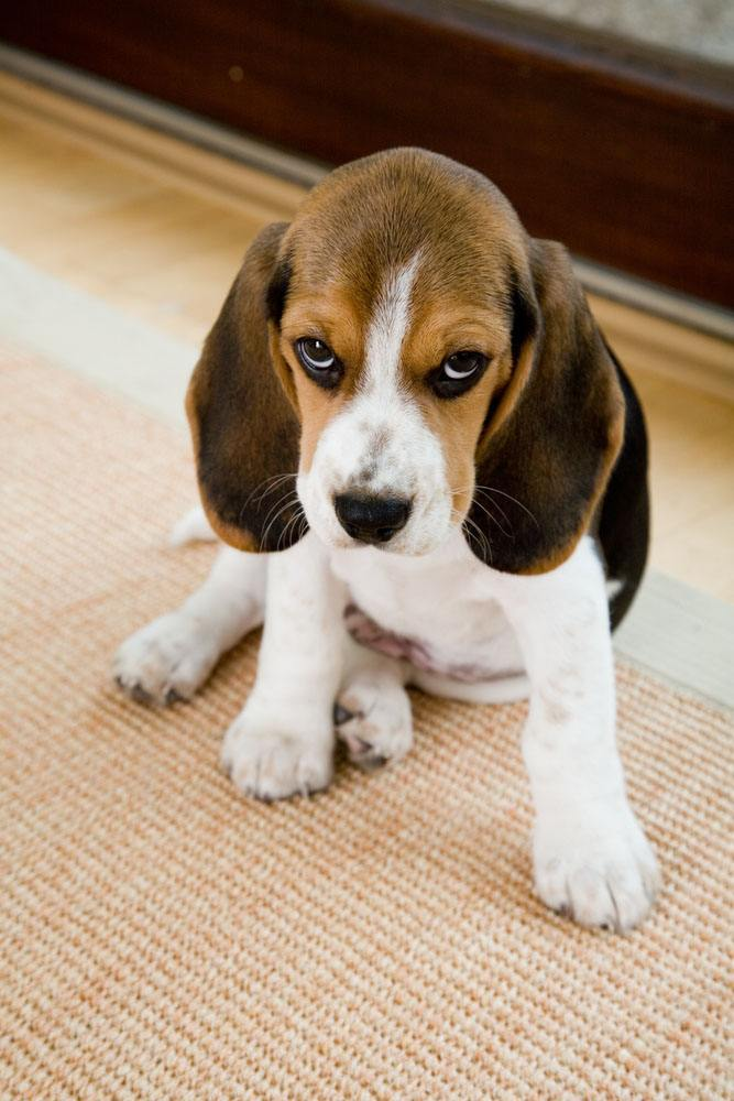 beagle dog names female puppy cute male unique puppies beagles bad dogs boy hound titles boys perfect looking popular pup