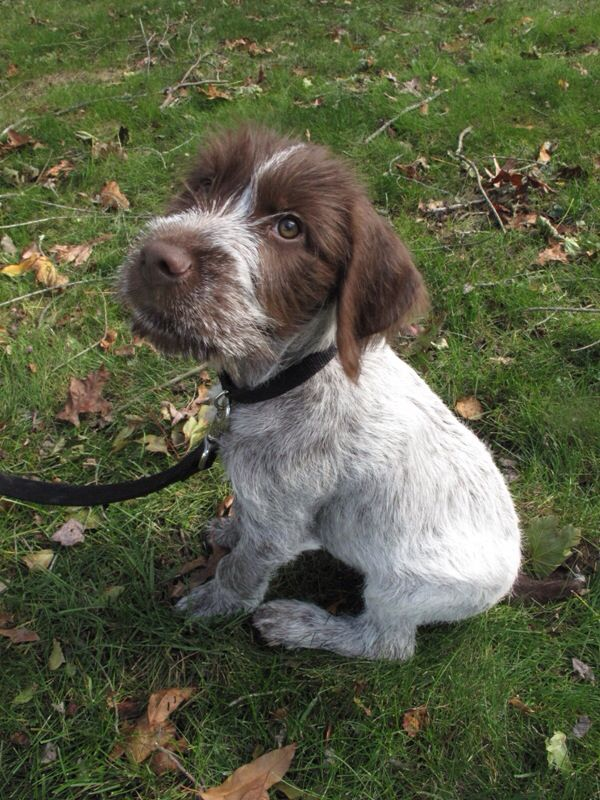 Funny Cute Pointer Pup