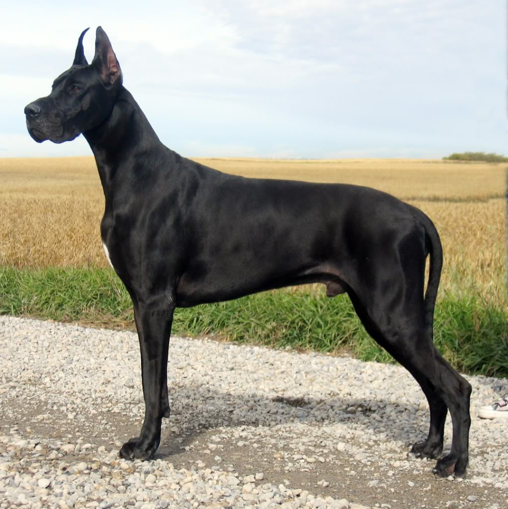 10 Best Great Dane Dog Names