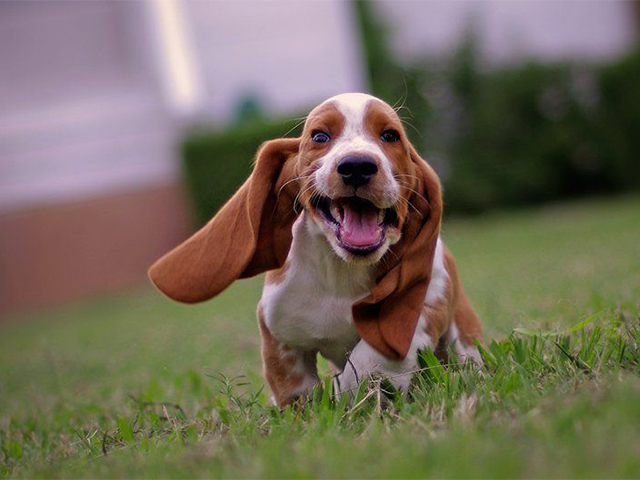 Which of the following legends about basset hounds is true?