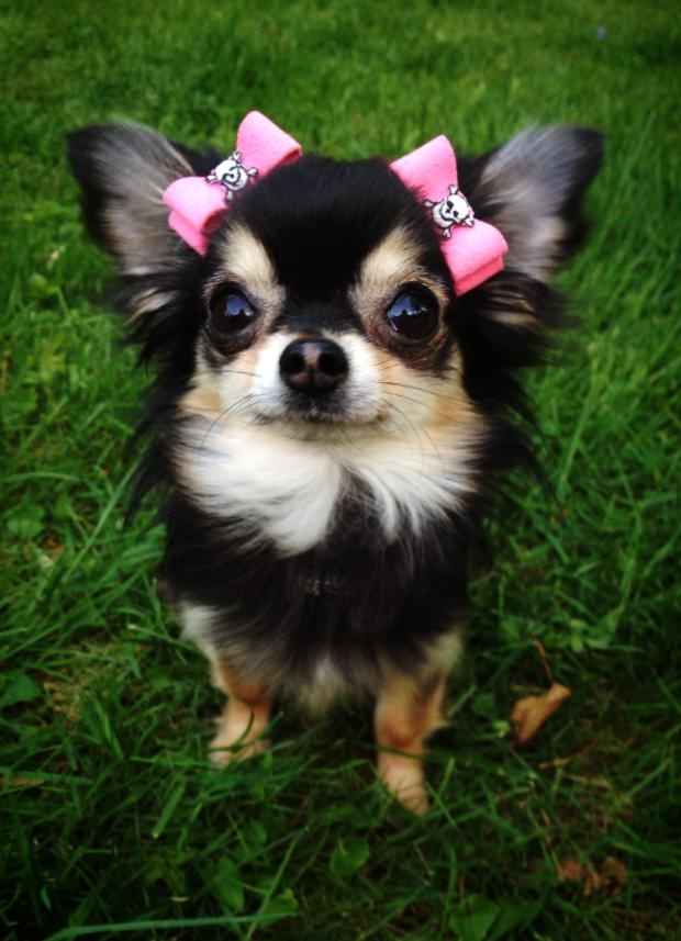 When compared to body size, the Chihuahua has the largest brain of any dog.
