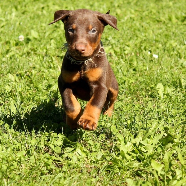 Pinscher Puppy Names Doberman Pinscher Cute Puppy