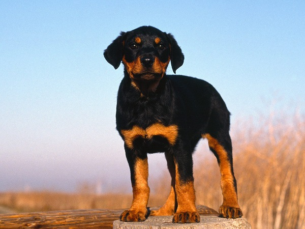 Pinscher Puppy Names Doberman Pinscher Puppy