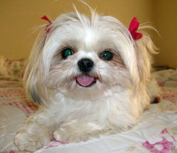 18 Reasons Why No One Should Ever Have A Shih Tzu As A Pet