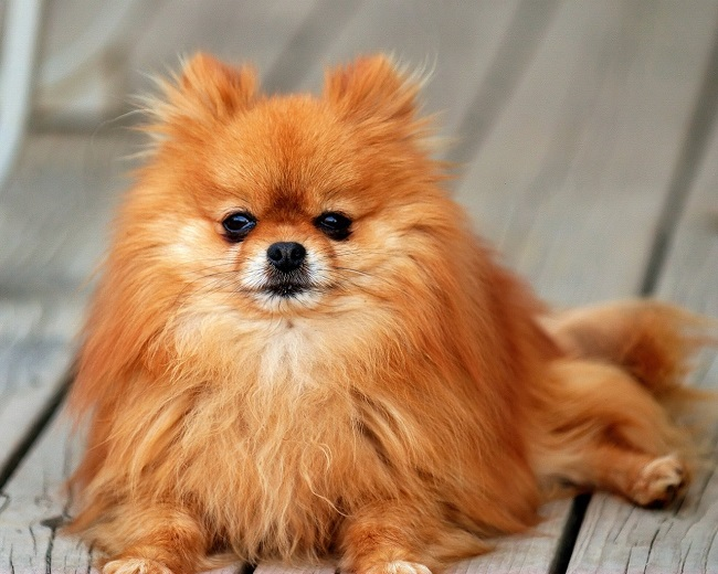65 Most Popular Pomeranian Dog Names