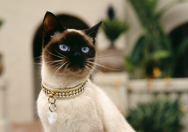 Siamese Cat awesome