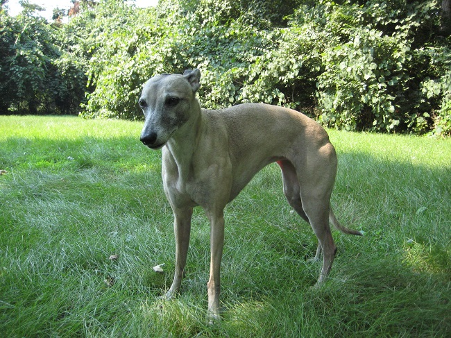 Best Dog Names For Whippets
