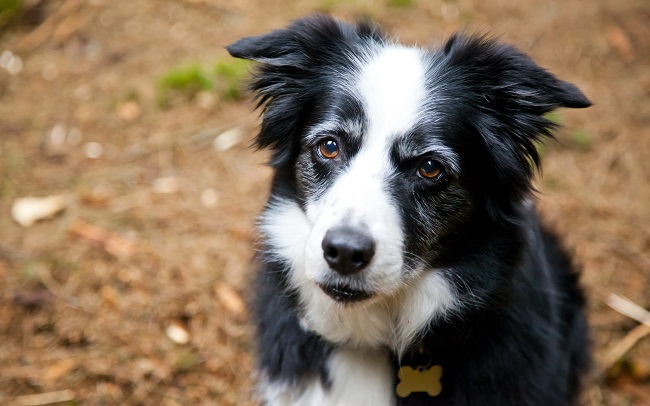 border collie pet beautiful