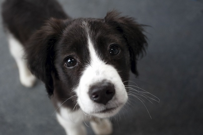 border collie pet cute puppy