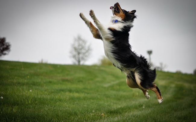 border collie pet jumping