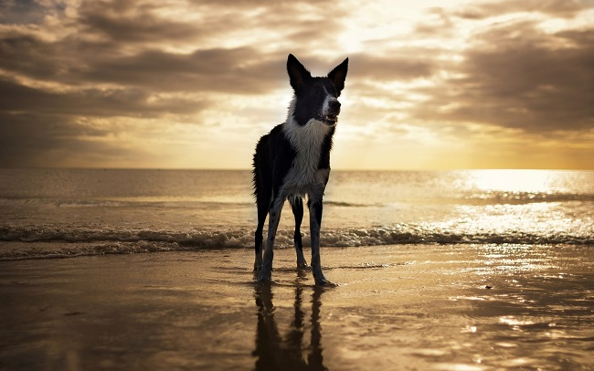 border collie pet ocean