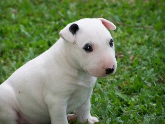 10 best english bull terrier dog names for English terrier