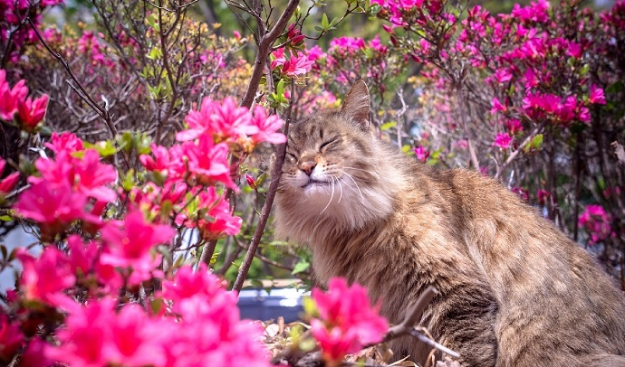 maine coon, cat, flowers